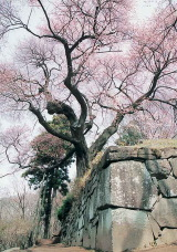 photo:Goten-zakura