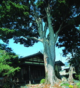 photo:Takahira Manor House and Pine Tree