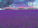 photo:Tambara Lavender Park
