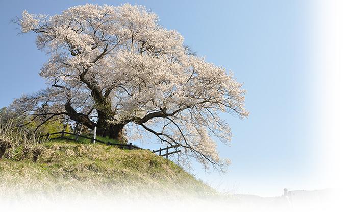 照片:樱花